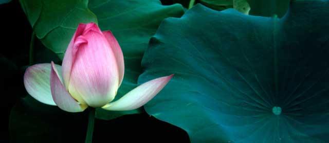 символика буддизма лотус